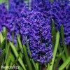 Hyacint Aida 1