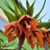oranžový řebčík fritillaria william rex 2