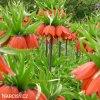 oranžový řebčík fritillaria william rex 3