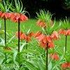 oranžový řebčík fritillaria william rex 5