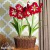 červený hvězdník amaryllis barbados 4