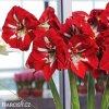 červený hvězdník amaryllis barbados 5