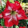 červený hvězdník amaryllis barbados 6