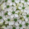 Allium Nigrum 2