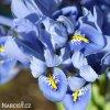 Iris reticulata Alida 3
