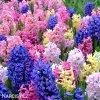 hyacinty smes mix barev 2