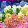 hyacinty smes mix barev 3