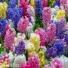 hyacinty smes mix barev 4