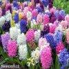 hyacinty smes mix barev 6