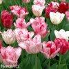 ruzovy tulipan triumph hemisphere 3