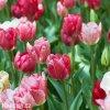ruzovy tulipan triumph hemisphere 5