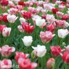 ruzovy tulipan triumph hemisphere 6