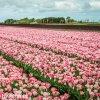 ruzovy tulipan triumph hemisphere 7