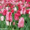 ruzovy tulipan triumph hemisphere 8