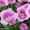 ruzovy tulipan triumph holland beauty 5