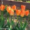 oranzovy tulipan triumph orange breeze 2