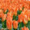 oranzovy tulipan triumph orange breeze 5