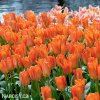 oranzovy tulipan triumph orange breeze 8