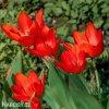 cerveny tulipan Praestans Zwanenburg 2