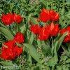 cerveny tulipan Praestans Zwanenburg 4