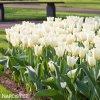bily tulipan triumph purissima 3