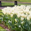 Tulips Purissima 5