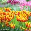 zlutocerveny vicekvety tulipan winnipeg 2