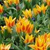 zlutocerveny vicekvety tulipan winnipeg 3