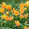 zlutocerveny vicekvety tulipan winnipeg 5