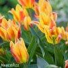 zlutocerveny vicekvety tulipan winnipeg 6