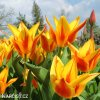 zlutocerveny vicekvety tulipan winnipeg 7