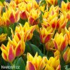 zlutocerveny vicekvety tulipan winnipeg 1