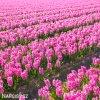 ruzovy hyacint pink pearl 2