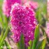 ruzovy hyacint pink pearl 3