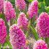 ruzovy hyacint pink pearl 4