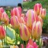 zlutoruzovy tulipan antoinette 6