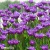 Tulipan Blue aimable 2