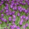 fialovy tulipan blue aimable 8