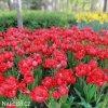 cerveny vicekvety tulipan esthatic 3
