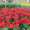 Tulipán Esthatic 3