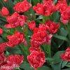 Tulipán Esthatic 1
