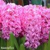 ruzovy hyacint pink pearl 1