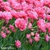 ruzovy plnokvety tulipan aveyron 4