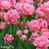 ruzovy plnokvety tulipan aveyron 6