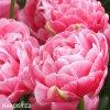 ruzovy plnokvety tulipan aveyron 7