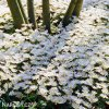 Anemonky Blanda White 3