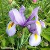 fialový kosatec iris rosario hollandica 2
