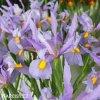 fialový kosatec iris rosario hollandica 3