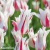 bilocerveny tulipan marilyn 2