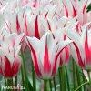 bilocerveny tulipan marilyn 4